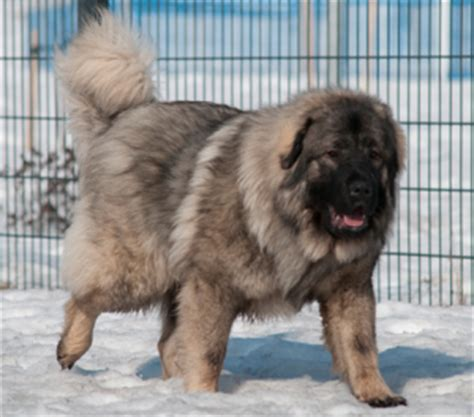 sarplaninac puppies meet the sarplaninac learn about its puppies and more