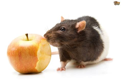 Would You Eat A Rat by Foods That Are And Are Not Safe For A Pet Rat Pets4homes