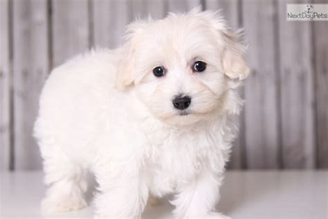 maltipoo puppies ohio maltipoo puppies for sale in ohio buy or adopt a puppy blush malti poo maltipoo
