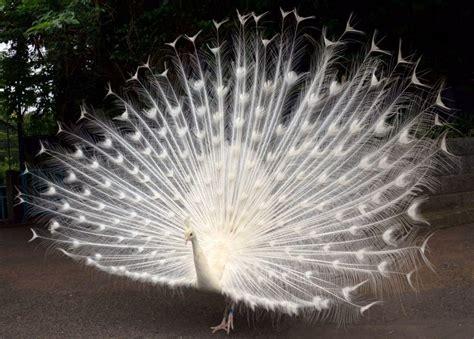 merak putih cantiknya burung merak putih di kebun binatang nogeyama