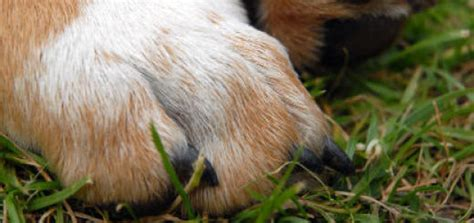 can dogs be declawed can guinea pigs live outside in winter pet orb