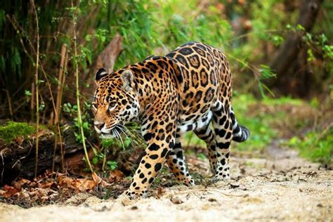 jaguars rainforest 20 kinds of tropical rainforest animals with pictures