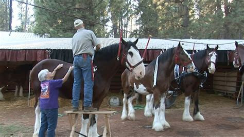 The Draft Horse Classic At The Nevada County Fairgrounds Classic Grass Valley Ca