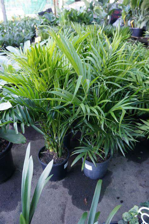 cascade palm westlake nursery