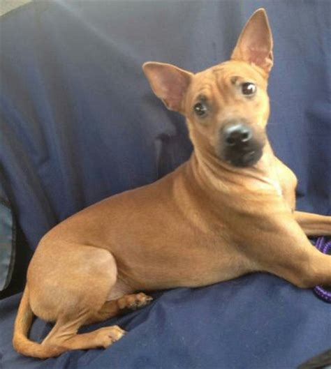 scooby doo breed mixed breed for adoption 2 years scooby doo from 47100 puchong selangor