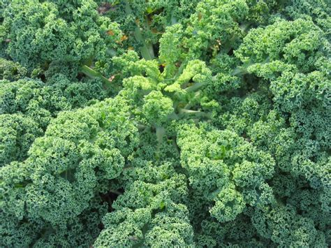 Kale Garden by How To Grow Kale Gardenswag