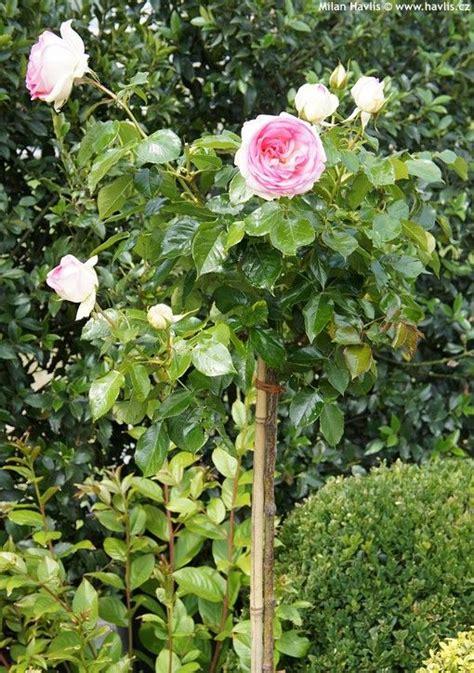 Garden Of Rosa E Garden Of Rosa E 28 Images Rosa Alchymist Garden En