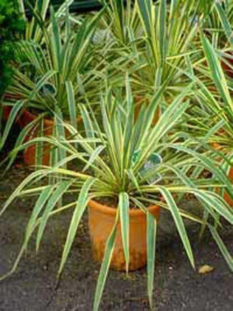 gartenyucca pflege yucca filamentosa bright edge gelbgestreifte palmlilie