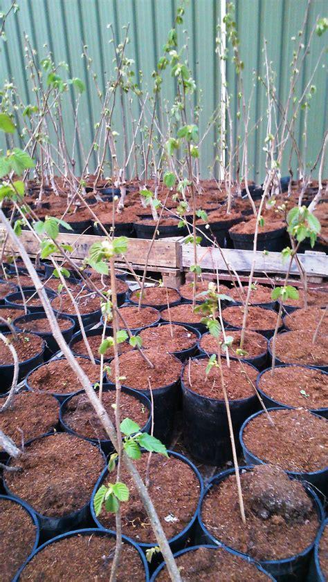 bare root fruit trees uk roughway farm cobnuts kent fruit cannon fruit