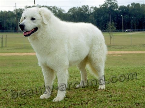 haircuts for great pryneese dogs top 12 most beautiful white dogs
