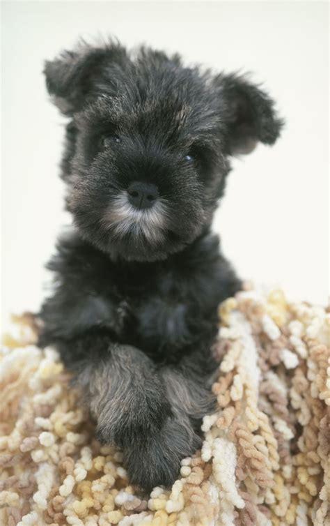 minature schnauzer puppies best 25 miniature schnauzer temperament ideas on