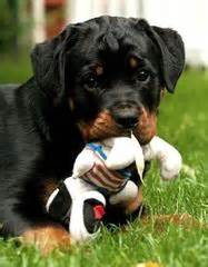 wu tang rottweilers sacramento ca rottweiler puppies for sale rottweiler breeders