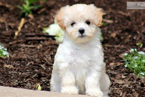 maltipoo puppies for sale illinois teacup maltese puppy maltese puppy for sale in chicago il