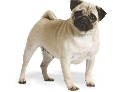 for pugs scruff macduff the pug craze why are they so popular