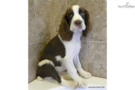english springer spaniel bench bench english springer spaniel puppies for sale 28