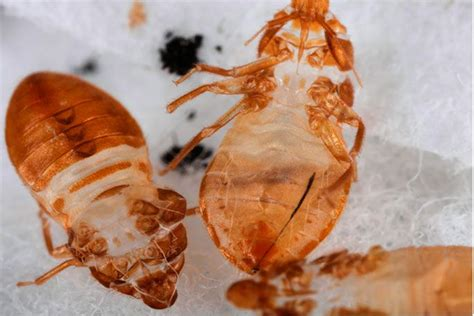 bed bug molt pictures of bed bug skins at bed bug supply