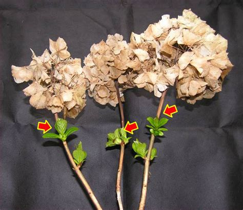 award winning hydrangeas hydrangeas pruning techniques