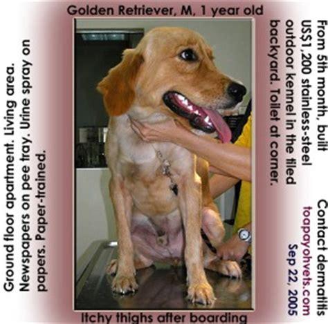 golden retriever leg problems 031208asingapore toa payoh veterinary cat rabbits hamster veterinarian veterinary