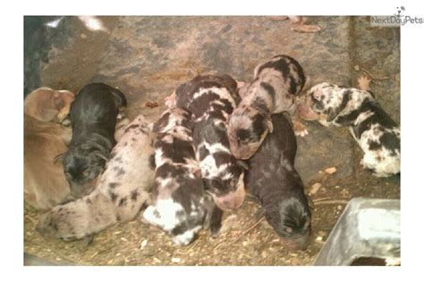 catahoula leopard puppies for sale louisiana catahoula leopard puppies for sale design bild