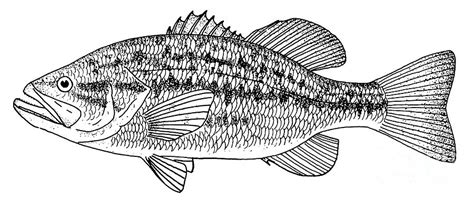 largemouth bass drawing color www pixshark com images