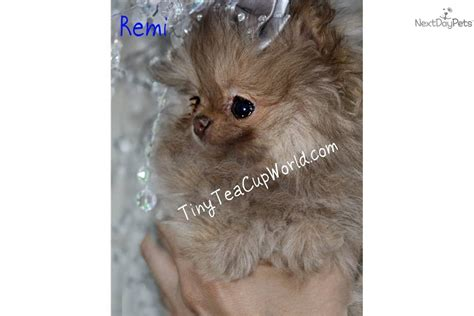 pomeranian puppies for sale in tucson az teacup chihuahua puppies for sale az images