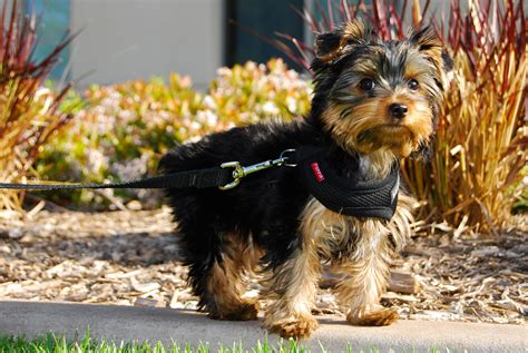 black yorkie puppy terrier my rocks