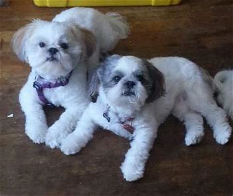 what two dogs make a shih tzu shih tzu puppy care gordo curioso