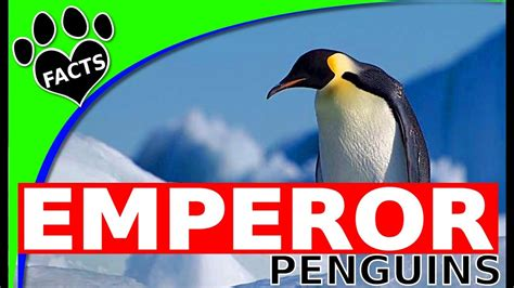 8 Facts On Penguins by Penguins 101 Emperor Penguins Top 10 Facts Animal Facts