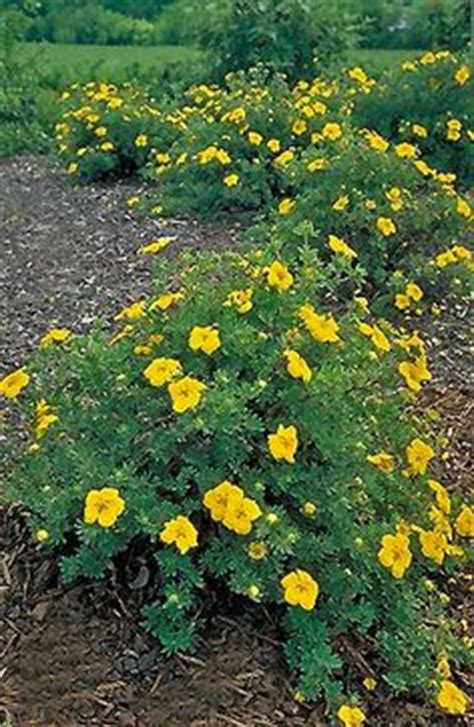 low growing flowering shrubs for sun 1000 images about shrubs on flowering shrubs