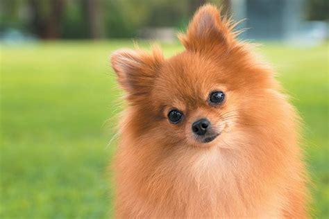 how do pomeranians live in human years the 10 smallest breeds