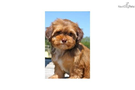 chocolate yorkie poo for sale yorkiepoo yorkie poo puppy for sale near tulsa oklahoma d79000f8 afe1