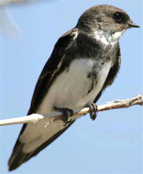 bird species bank swallow