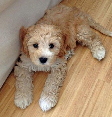 Do Labradoodle Puppies Shed by Labradoodle Puppies Sheds And Pin On