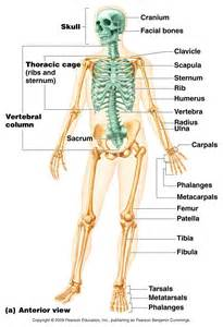 anatomy and physiology skeletal system