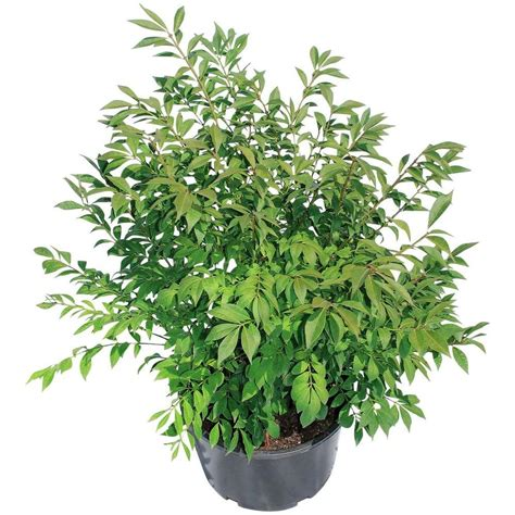 shrub bushes trees bushes garden center the