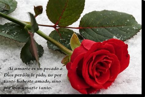 imagenes de rosas mas bonitas con frases imagenes de rosas mas hermosas del mundo para regalar