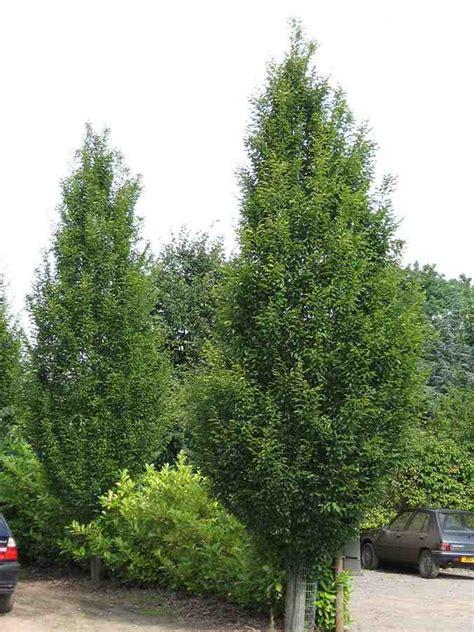european trees trees planet carpinus betulus european hornbeam