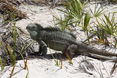 iguana island discovering iguana island turks caicos