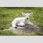 hd-wallpaper-with-lamb-on-a-stone