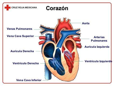 imagenes de corazones del cuerpo humano corazon y sus partes para primaria imagui