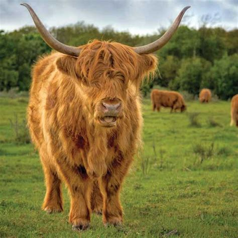 cattle breeds cattle breeds for the small farm animals grit magazine
