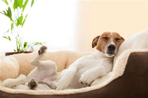 clean dog hair off couch understanding your dog s sleeping habits how much sleep