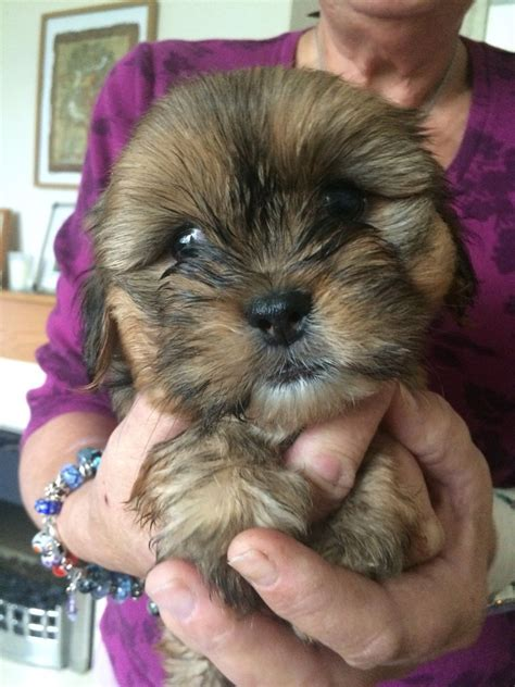 shih tzu x yorkie for sale shih tzu x yorkie terrier puppies for sale plymouth pets4homes