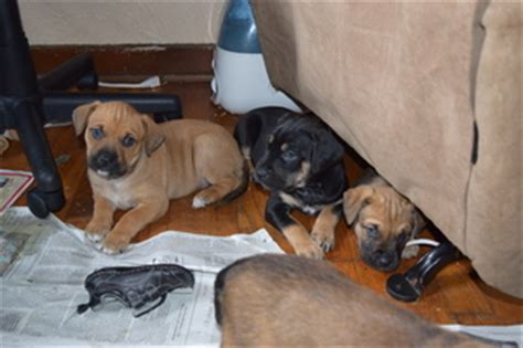 boxer bullmastiff mix puppies for sale view ad boxer bullmastiff mix puppy for sale pennsylvania greensburg usa