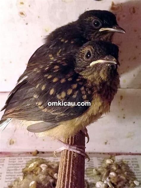 Sarang Burung Finch Kenari Dan Sejenisnya yen yk bf bantul sukses beternak aneka burung kenari