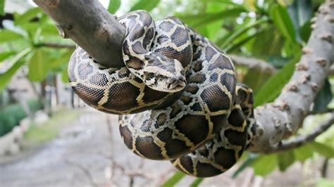 python image burmese python facts and pictures reptile fact