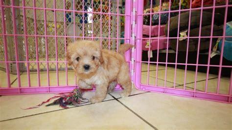 golden retriever for sale in atlanta miniature goldendoodles for sale in atlanta breeds picture