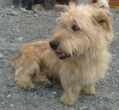 glen of imaal terrier puppies glen of imaal terrier photo and wallpaper beautiful glen of