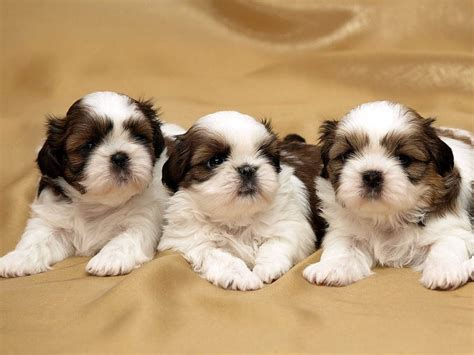 potty shih tzu puppy 10 week shih tzu potty 1001doggy