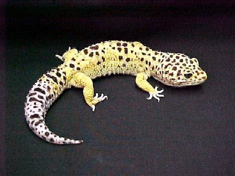 leopard gecko heat l adorable leopard geckos page 51